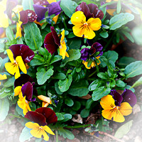 Spring Fresh Pansies